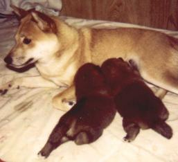 Mother is Shiba's Nest Red Sonia