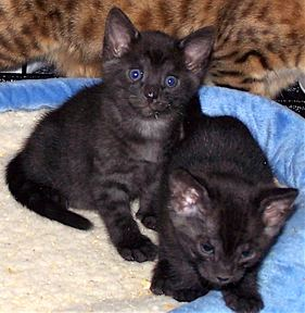 bengal kittens two sisters panthers
