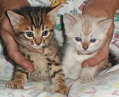 Two bengal kittens born November 2, 2003
