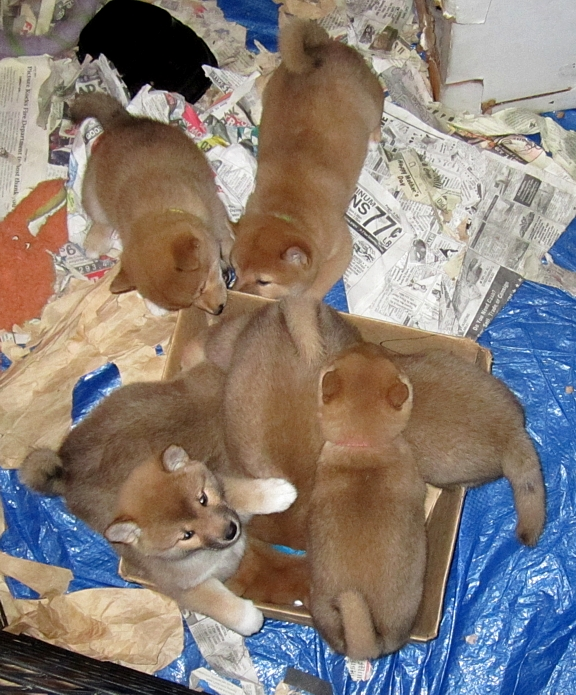 7 shiba pups in a small box