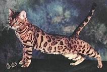 Quadruple Grand Champion Bengal Cat, DiCaprio of Star Bengal
