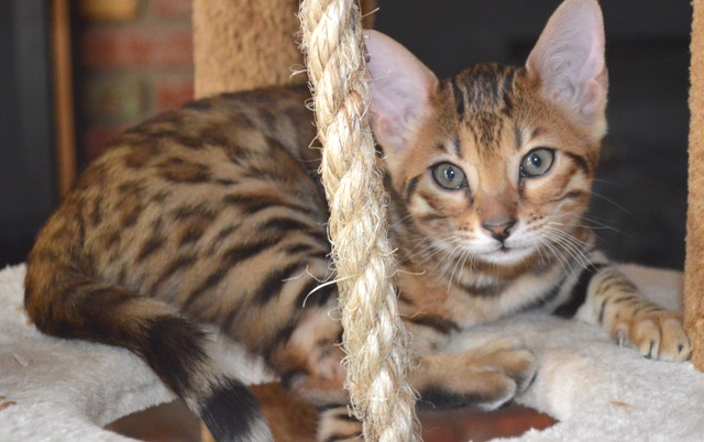 Bengal cats for sale phoenix az