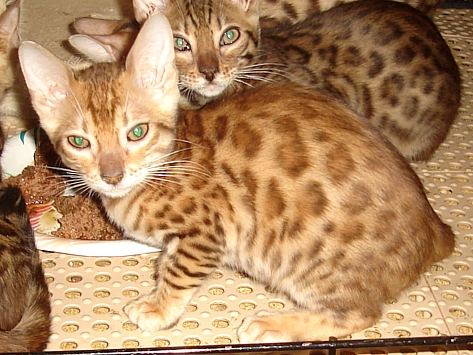 Bengal kittens, affectionate companions and pets with wild