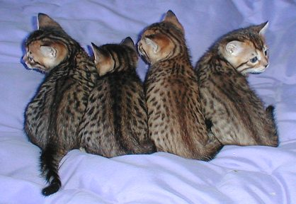 Four of Shyannes's Bengal Kittens, DOB October 20th , 2003