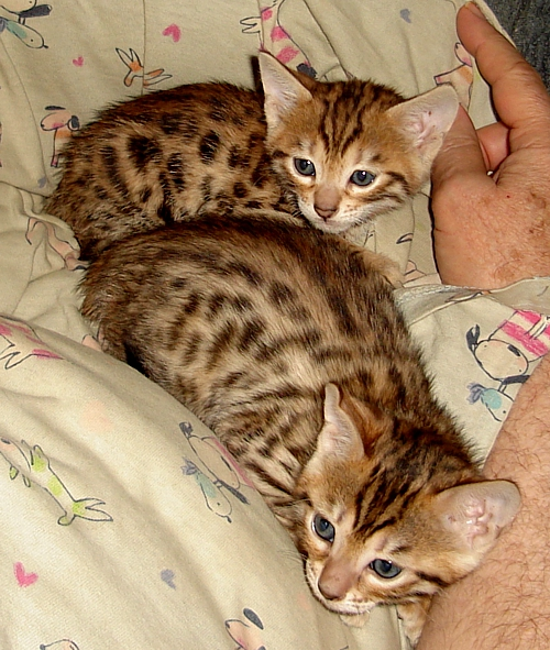 Bengal kittens for sale Tucson, AZ registered Bengal cats