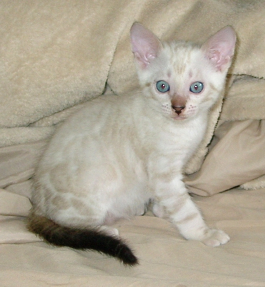 snow marble bengal kiitten for sale Tucson, AZ