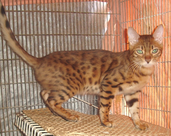 Bengal cat for adoption Tucson, AZ