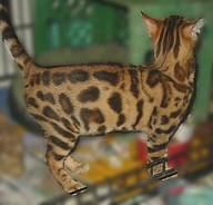 Bengal kittens and cats for sale in Tucson, AZ