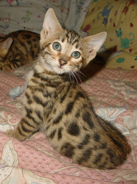 Timmy, Bengal kitten for sale