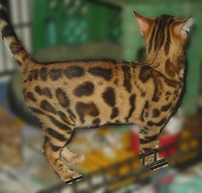 Bengal cats and kittens for sale Tucson AZ