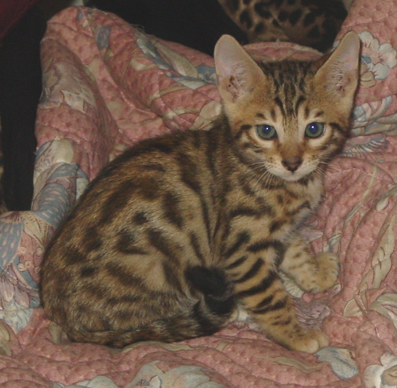 Bengal kitten for sale Tucson AZ