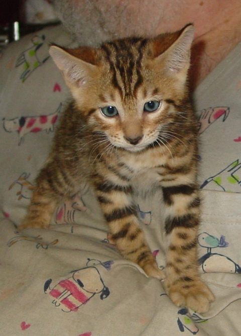 Bengal kittens for sale Tucson AZ