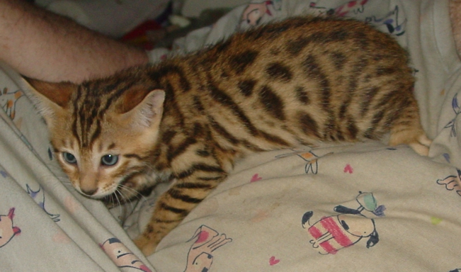 Bengal kittens for sale Tucson, AZ