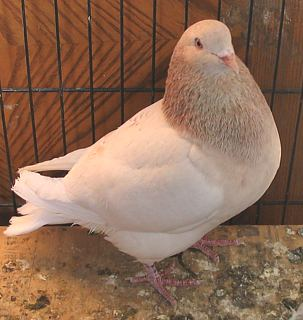 Texan Pioneer pigeon, squabbing pigeon, show pigeon, squab, ash red cock looking right