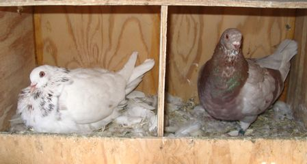 Texan Pioneer pigeons, ash red breeding pair on nest