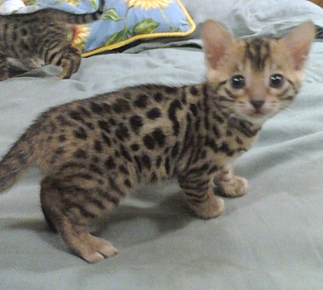 Bengal kittens for sale Virginia