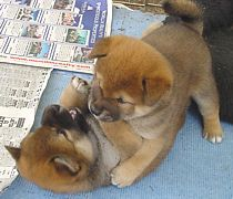 Shiba Inu puppies having a fight!