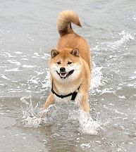 Shiba Inu splashing in Atlantic surf.