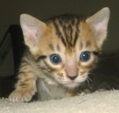Brown Spotted female bengal kitten for sale Tucson AZ
