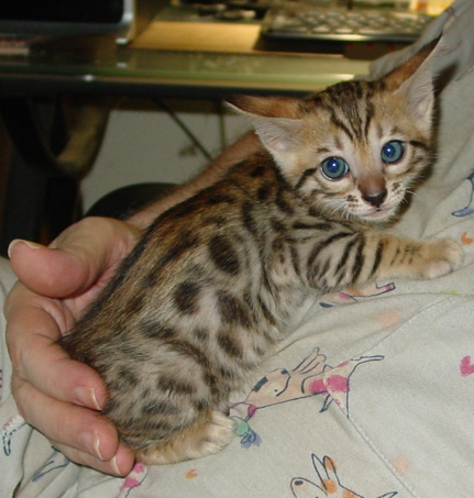 Brown Spotted male bengal kitten for sale Tucson AZ