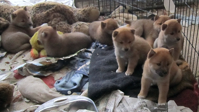 Shiba Inus puppies - big litter of 7