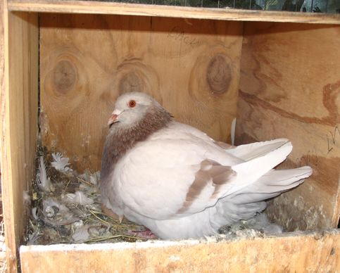Texan Pioneer pigeon, ash red hen on nest with squab