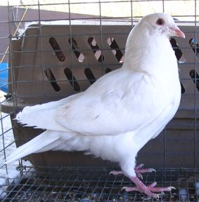 Texan Pioneer pigeon, young 2006 cock before first moulting